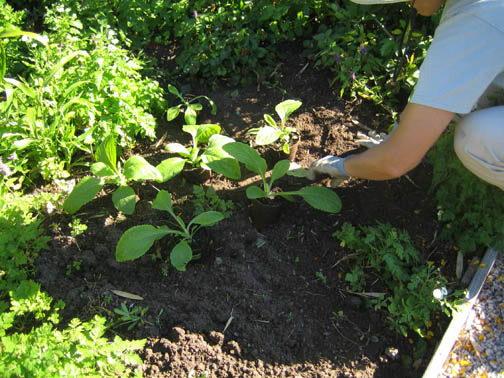 Как посадить рассаду наперстянки в грунт фото