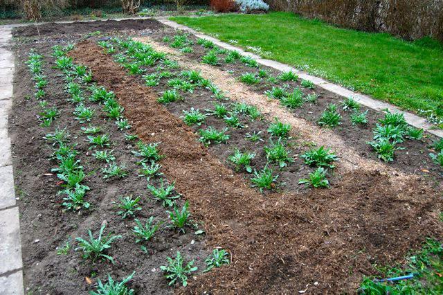 Как посадить садовые васильки в открытый грунт фото
