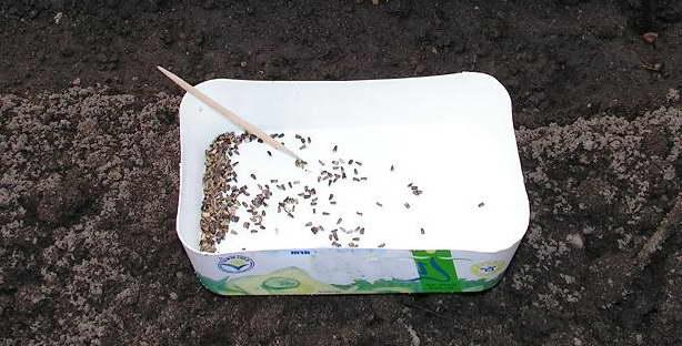 Как посадить салат цикорный семенами в грунт