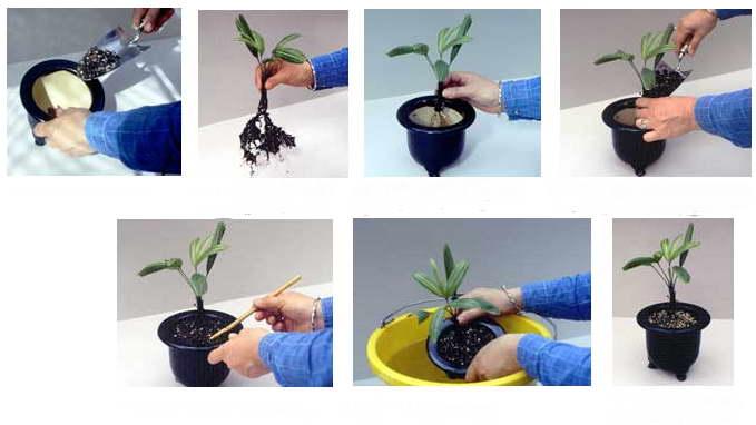 Как посадить саженец раписа фото