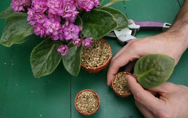 Как посадить сенполию листом фото