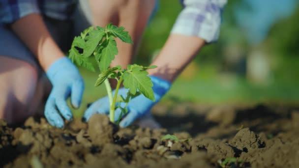 Как посадить томат Мазарини в грунт