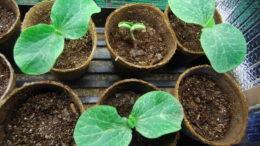 Как посадить тыкву в открытый грунт рассадой фото