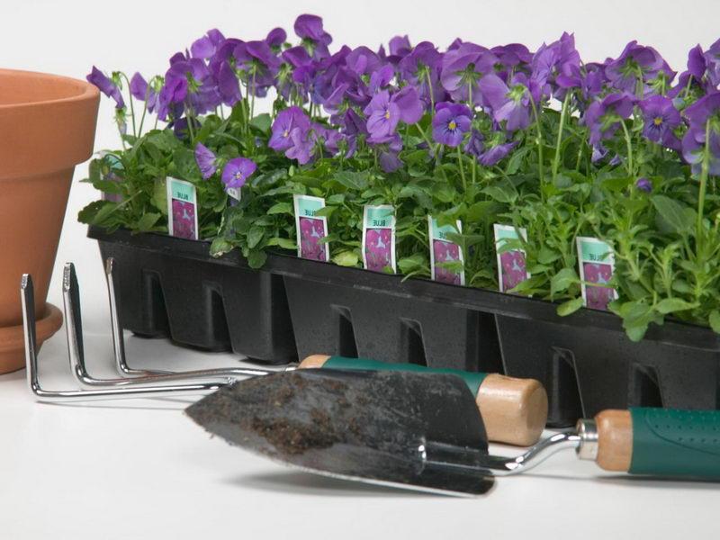 Как посадить виолу в открытый грунт фото