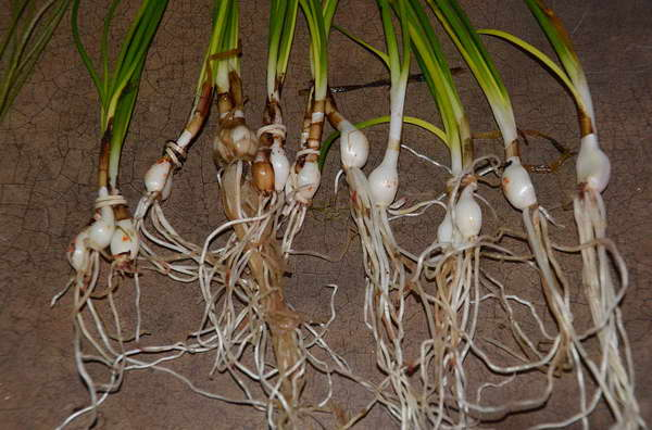 Как посадить зефирантес фото луковиц