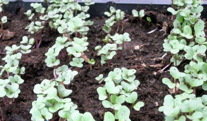Как посеять декоративную капусту в грунт фото всходов