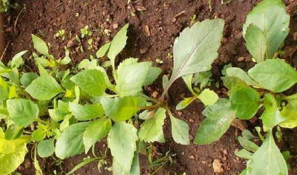 Как посеять георгины в грунт семенами