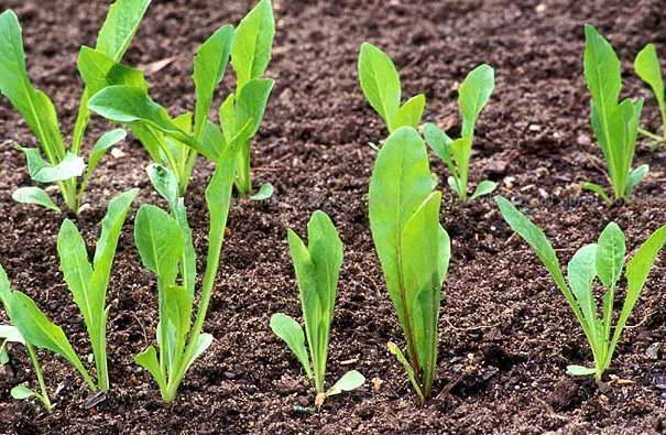 Как посеять цикорный салат фото