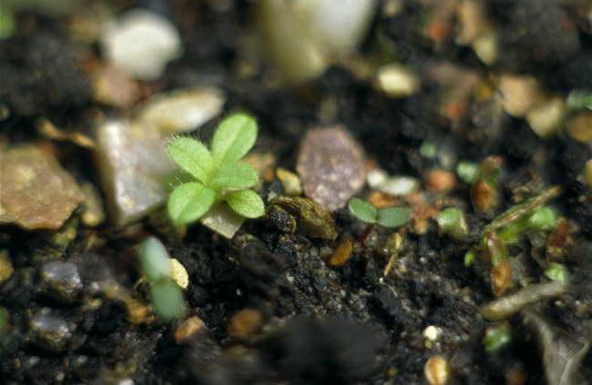 Как посеять ясколку семенами в грунт фото всходов