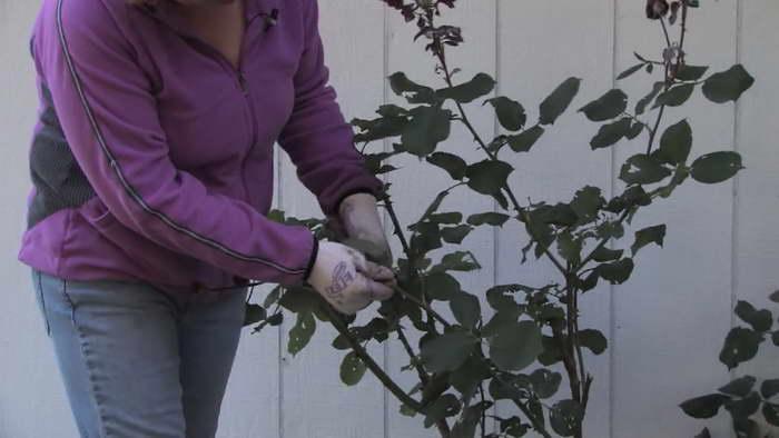Как правильно обрезать плетистую розу фото