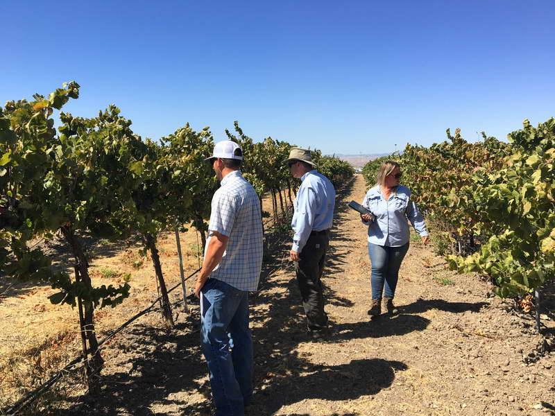Как правильно подкармливать виноград дозировка минеральных удобрений