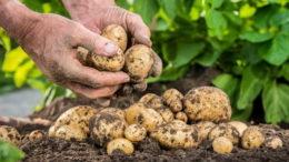 Как правильно подкормить картофель весной летом и землю осенью до посадки