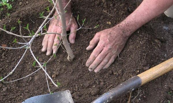 Как правильно посадить бузину