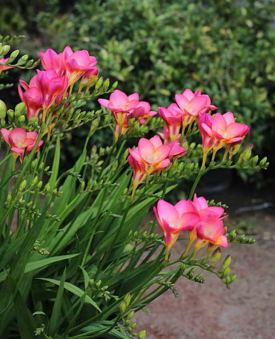 Как правильно посадить фрезию Фото цветов в саду