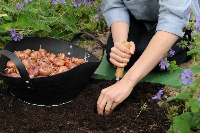 Как правильно посадить гладиолусы Когда высаживать гладиолусы фото