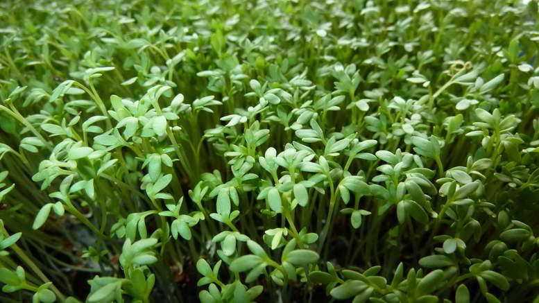 Как правильно посадить кресс салат на подоконнике зимой