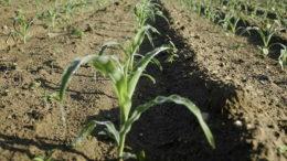 Как правильно сажать кукурузу в открытый грунт