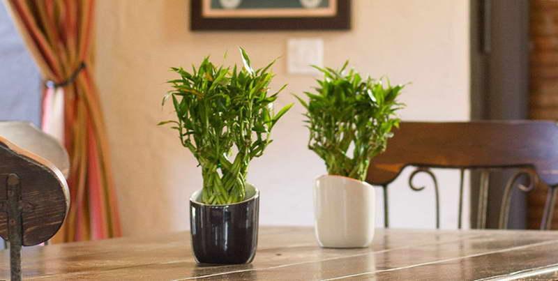 Как правильно выращивать бамбук в домашних условиях фото