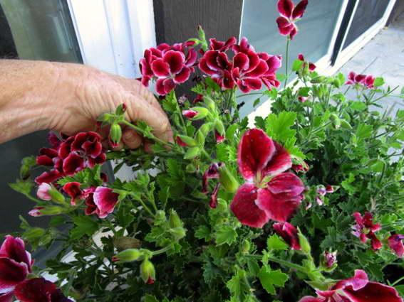 Как прищипывать герань для пышного цветения фото