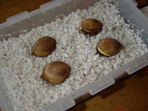 Как прорастить семена цикаса фото