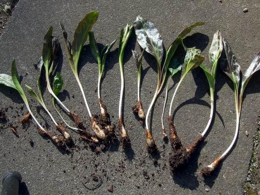 Как рассадить кандык эритрониум