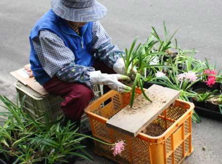 Как рассадить луковицы нерине фото