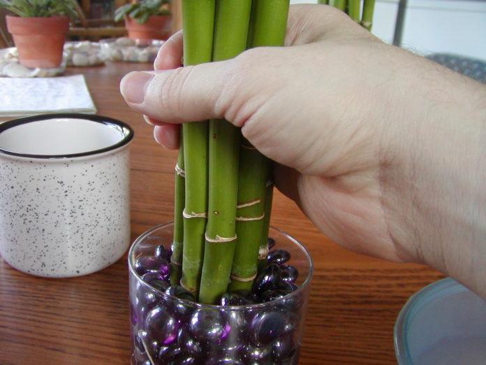 Как растить бамбук в домашних условиях