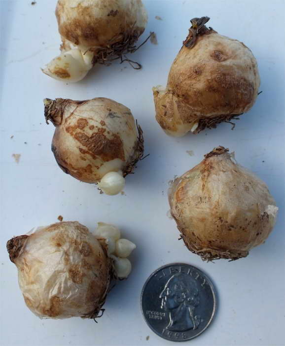 Как размножается мускари фото луковиц с детками