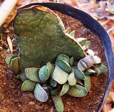 Как размножать гастерию листьями фото