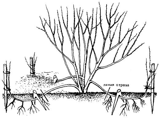 Как размножить чубушник отводками