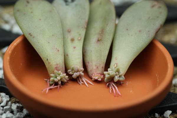 Как размножить граптопеталум стеблевыми черенками фото