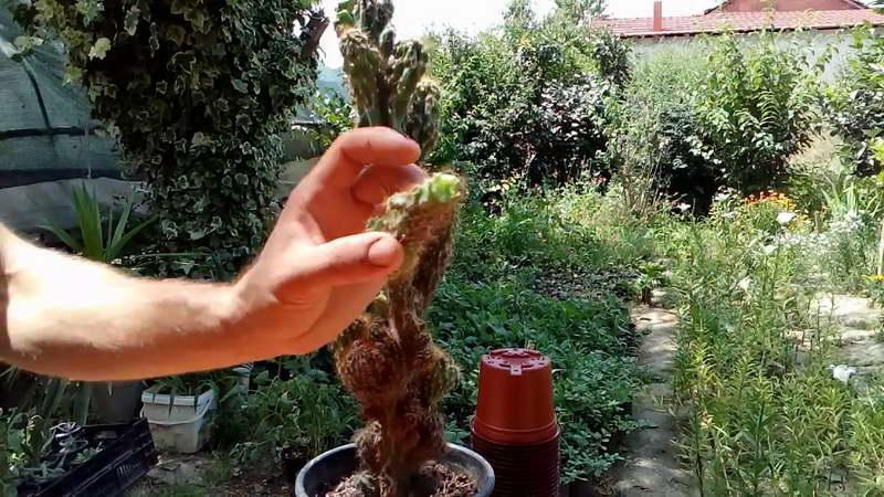 Как размножить кактус цереус черенками