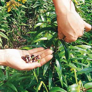 Как размножить лилию садовую бульбочками фото
