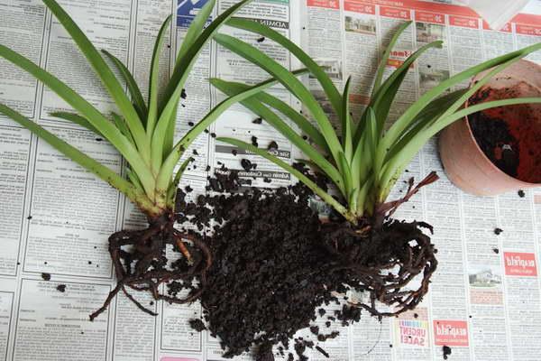 Как размножить орхидею пафиопедилум делением куста фото