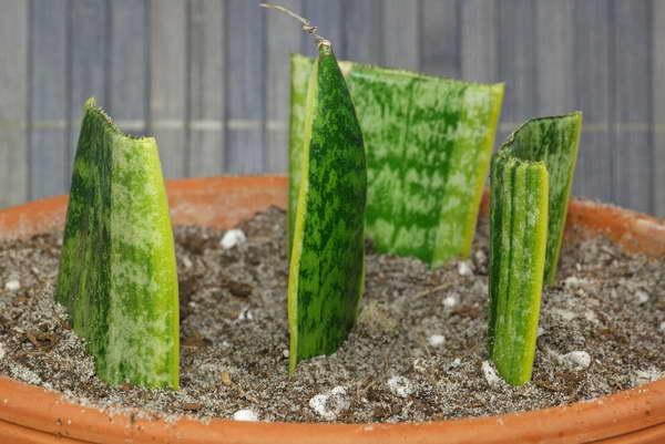 Как размножить сансевиерию листом фото