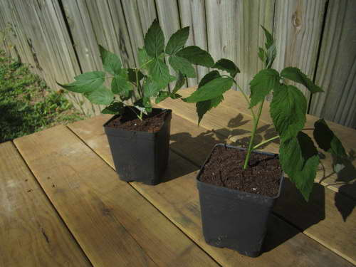 Как размножить штамбовую малину зелеными черенками