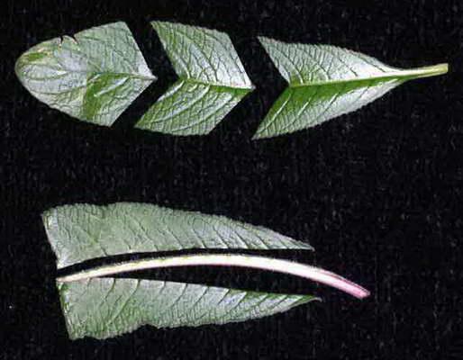 Как разрезать лист стрептокарпуса для размножения фото