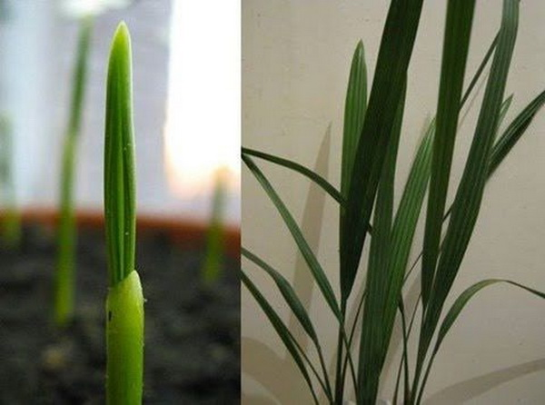 Как развивается финиковая пальма из косточки