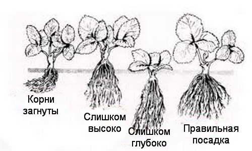 Как сажать клубнику схема