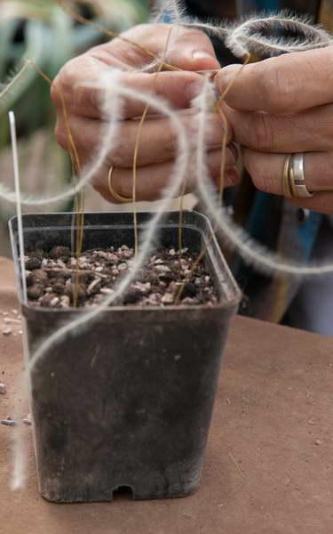 Как сажать ковыль на рассаду фото