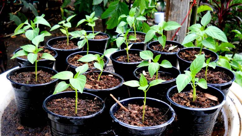 Как сажать перец сладкий на рассаду Сроки посева