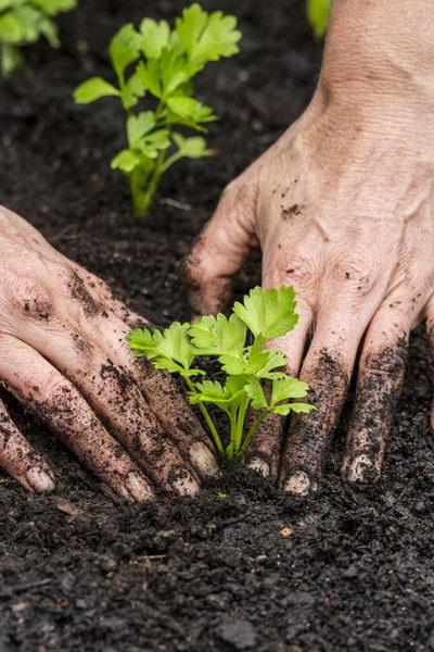 Как сажать рассаду черешкового и листового сельдерея в грунт фото