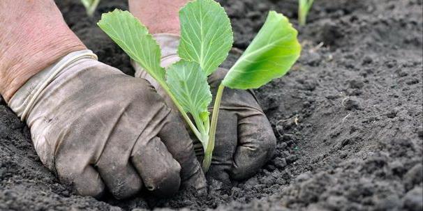 Как сажать рассаду капусты в грунт