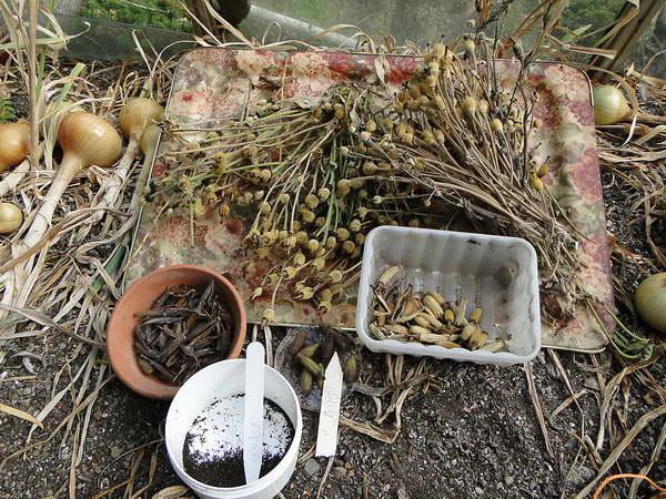 Как собирают семена меконопсиса фото