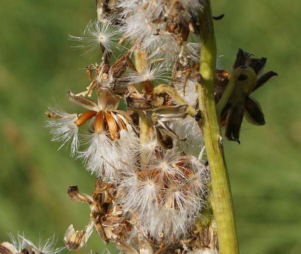 Как собрать семена бузульника фото