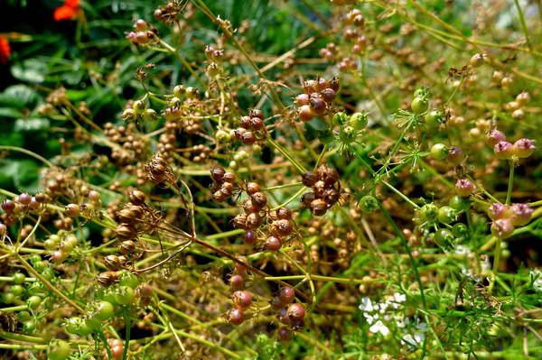 Как собрать семена кориандра фото