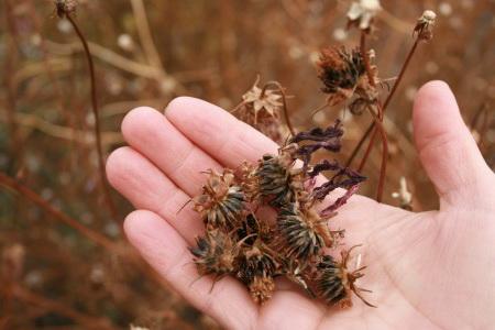 Как собрать семена космеи