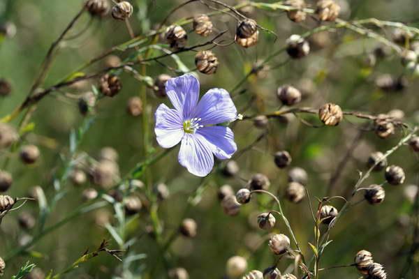 Как собрать семена льна