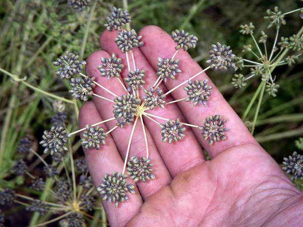Как собрать семена петрушки фото