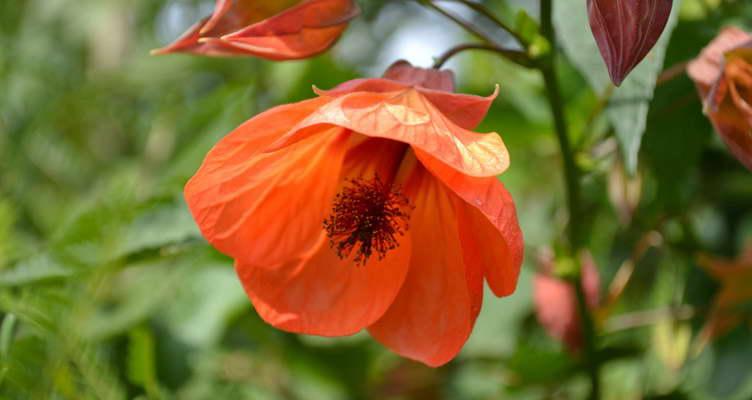 Как цветет абутилон фото